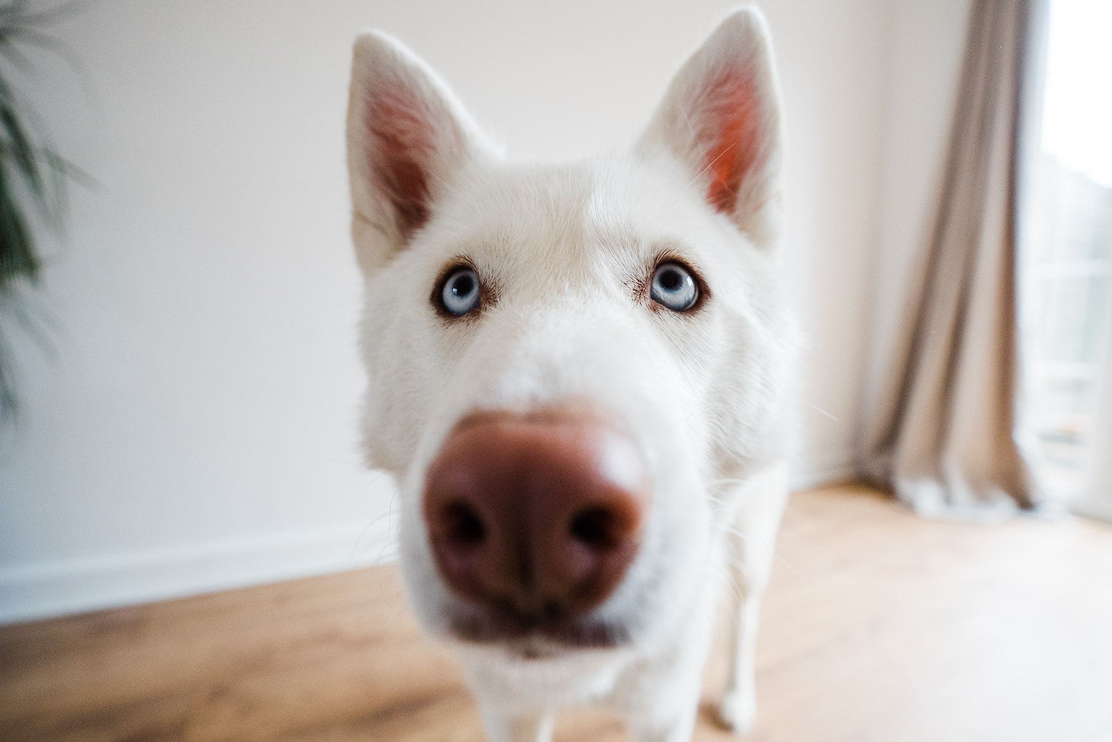 White husky looking into camera with its nose in the lens.