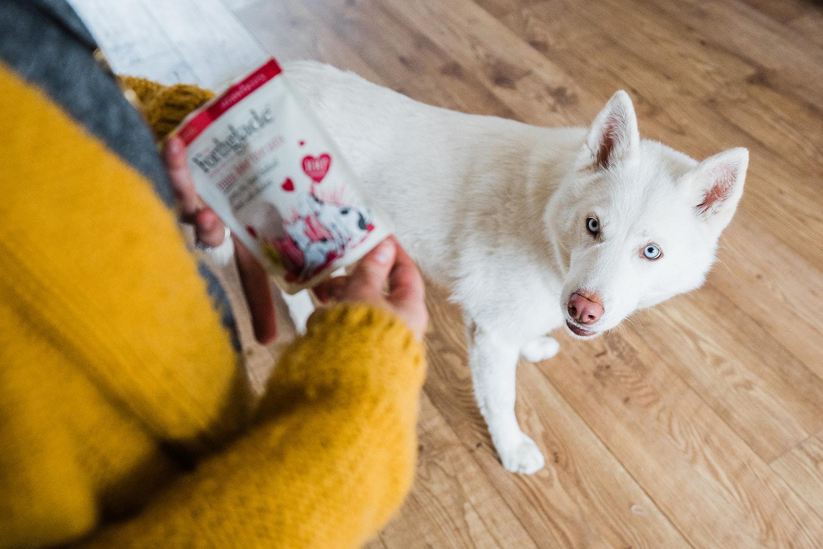 White Husky stares at treat bag.